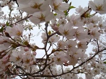 桜20120422.JPG