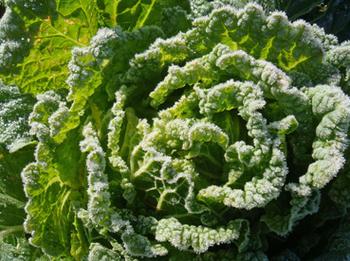 白菜2/20131113.jpg
